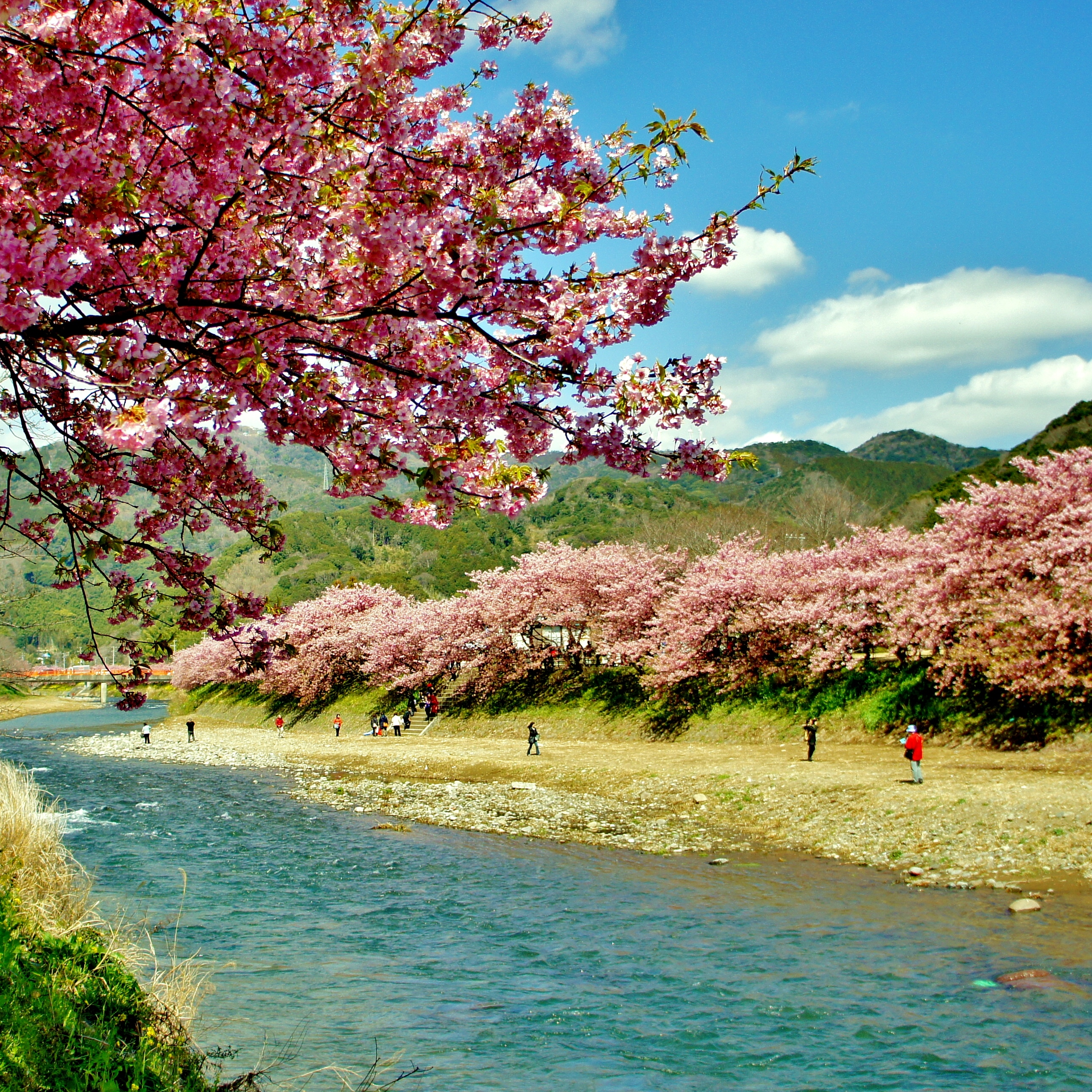 The Sakura of Kawazu – 河津の桜
